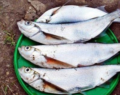 Ловля чехони круглый год - все секреты крупного улова