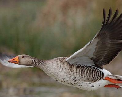 Как охотиться на дикого гуся - самые успешные методы и секреты
